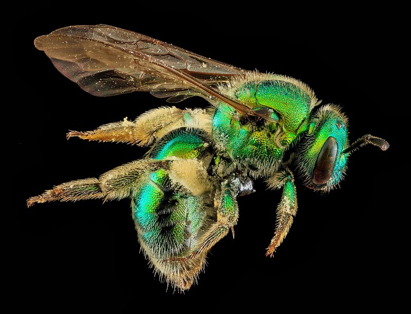 40Macro bee portraits by Sam Droege