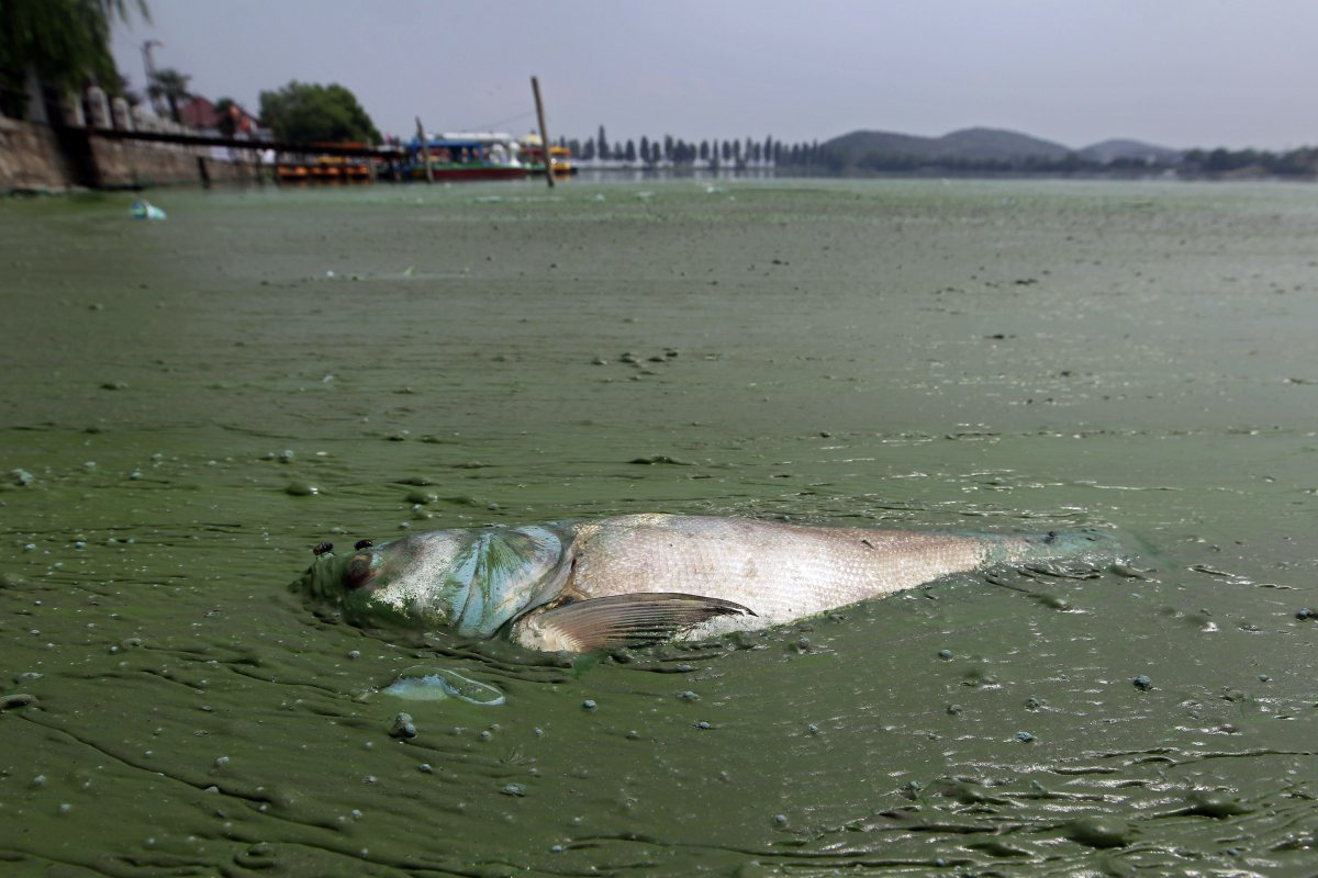 a-dead-fish-floats-in-water-filled-with-blue-green-algae-at-the-east-lake-in-wuhan-hubei-province-august-20-2012